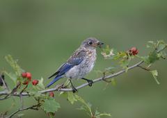 Bluebird (young) - stock photo