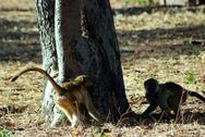 Baboons Playing Stock Photos