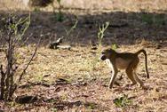 Baboon in the Sun Stock Photos