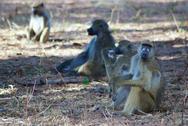 Baboons Relaxing Stock Photos