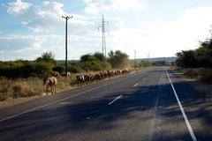 Cattle on the Road in Africa - stock photo