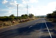 Cattle on the Road in Africa Stock Photos