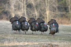 Wild Turkey jakes - stock photo