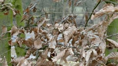 Carpinus betulus in winter Stock Footage