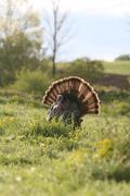 Wild Turkey in sun - stock photo