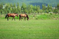 Stock Photo of two horses grazing on the meadow