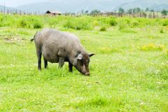 Stock Photo of tibetan pig