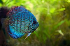 Discus fish Stock Photos