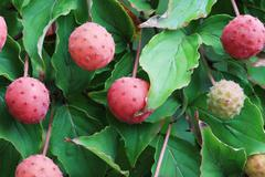 kousa dogwood fruit - stock photo