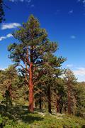 ponderosa pine - stock photo