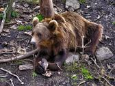 Stock Photo of Brown Bear, Norway