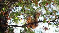squirrel chews on a branch of nuts - stock footage