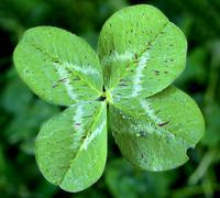 lucky clover - stock photo