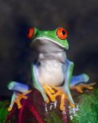 Red-eyed tree frog Stock Photos