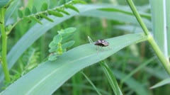 Stink Bug HD.mov Stock Footage