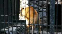Zoo.Liger in the cage - stock footage