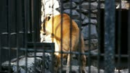 Stock Video Footage of Zoo.Liger in the cage