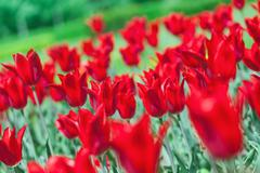 Early spring red tulip on flower bed with beautiful bokeh Stock Photos