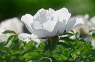 Stock Photo of close-up view of gently white peony flower back lighting in sunny spring day