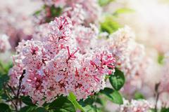 Close-up view of violet lilac flower inflorescence in sunny spring day Stock Photos