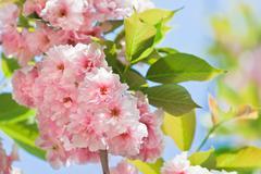 pink abloom japanese cherry (sakura) blossom in sunny spring day - stock photo