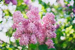 close-up pink lilac flower in front of lush foliage with magic bokeh - stock photo