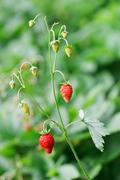Wild strawberries twig with red berries in front of blurred lush foliage back Stock Photos