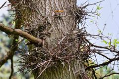 Oka puu korsi fragmentti paljon pitkiä piikkejä Kuvituskuvat