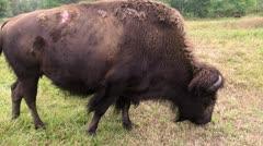 Buffalo Time Warp Stock Footage