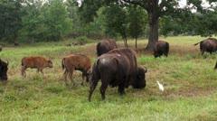 Buffalo Feeding Time Warp Stock Footage