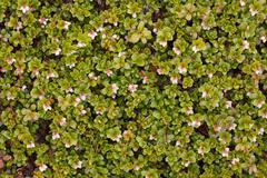 arctostaphylos uva ursi flowering - stock photo