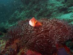 Maldives Anemone Fish (Amphiprion nigripes) Stock Photos