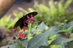 Postman Butterfly - stock photo