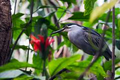 Striated Mangrove Heron Stock Photos