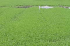 a photo of rice farm - stock photo