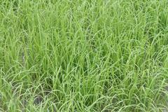 Stock Photo of a photo of rice farm
