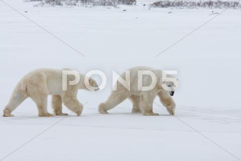 Stock photo of polar bear