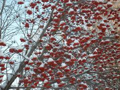 winter mountain ash - stock photo