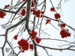 Winter mountain ash Stock Photos