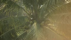 Bali Coconut Tree - stock footage