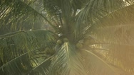 Stock Video Footage of Bali Coconut Tree