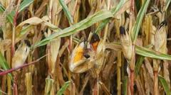 Corn crop Stock Footage