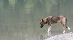 A dog drinking water from a mountain lake Stock Footage