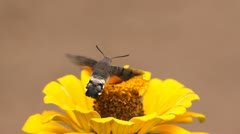 Fast wings butterfly drinking an yellow flower`s juice while flying - stock footage