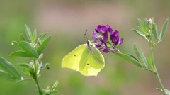 Green butterfly staying on a purple flower Stock Footage