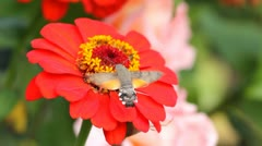 Stock Video Footage of Restless butterfly with fast wings feeding from a red flower while flying