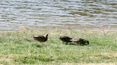 Wild little ducks feeding on the shore of the lake Stock Footage
