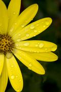 Yellow flower with raindrops Stock Photos