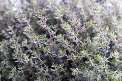 thyme herb growing - stock photo