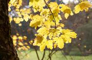 Yellow autumn leaves in the sunlight Stock Photos